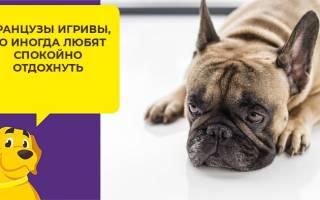Какого возраста лучше брать щенка французского бульдога?