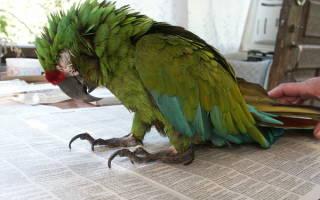 Что делать если у попугая понос?