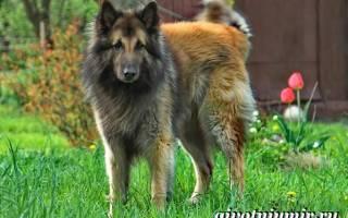 Тервюрен порода собак описание