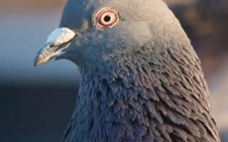 Окольцованный голубь как найти хозяина