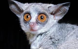 Животное с большими глазами лемур