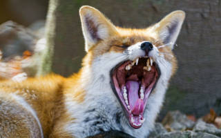 Как кричат лисы – лисица лает или воет