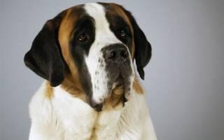 Какая порода собак самая спокойная?