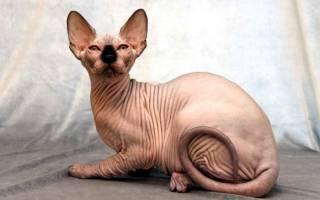 Породы кошек у которых не лезет шерсть?