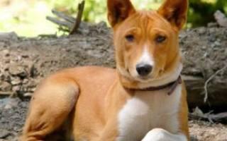 Порода собаки которая не умеет гавкать?
