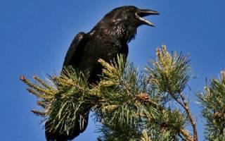 Черный ворон птица описание