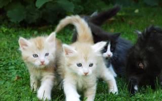 Как определить породу мейн КУН у котенка?