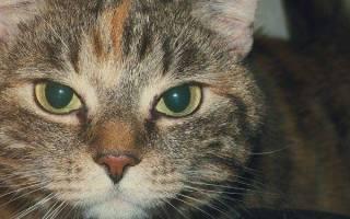 Сколько живут сибирские кошки в домашних условиях?