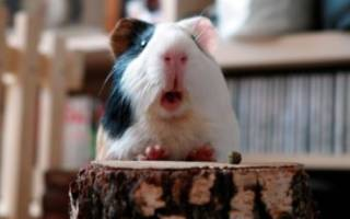 Почему морские свинки пищат или свистят?