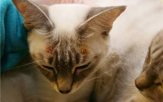 Экзема у кошки фото и лечение