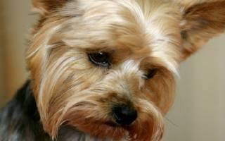 Отек легких у собаки лечение