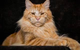 Порода плюшевых кошек – кошка плюшевая