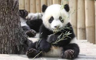 Большой панда описание крупная форма