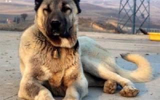 Гампр армянский волкодав фото – гампер собака