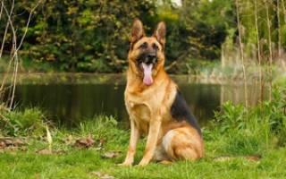 До какого возраста растет щенок немецкой овчарки?