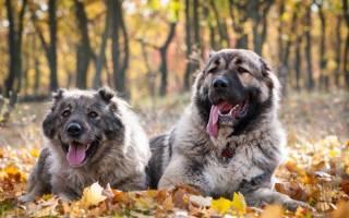 Собака кавказская овчарка – kavkazki avcharka