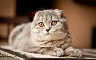 Продолжительность жизни шотландских вислоухих кошек
