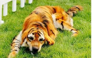 Как покрасить собаку, покраска животных