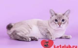 У какой породы кошек хвост крючком?