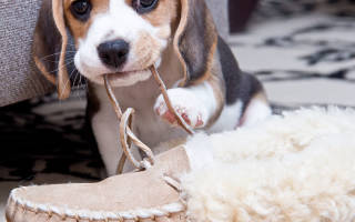 Как отучить собаку грызть обувь?