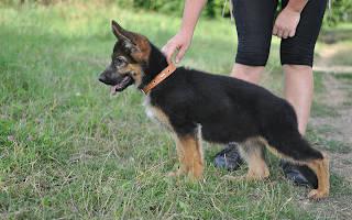 Как играть с щенком немецкой овчарки?