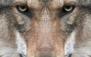 Какая порода собак может победить волка?