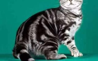 Американская короткошерстная кошка описание породы
