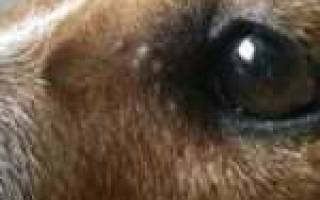 Прыщи у собаки по всему телу