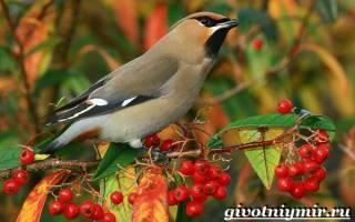 Свиристели перелетные или нет – свирель птица