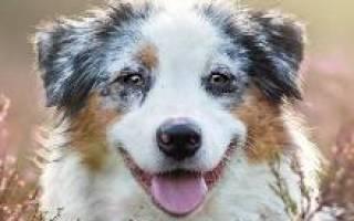 Австралийская овчарка описание породы характер: аусси щенок