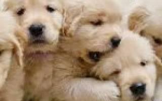 Когда можно отдавать щенков после рождения?