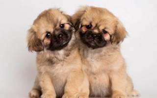 Тибетский спаниель фото щенки