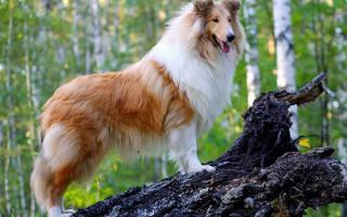 Порода собак колли фото цена, шотландская овчарка фотографии