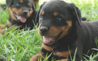 Как дрессировать щенка ротвейлера?