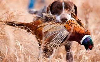Охотничьи собаки фото и название породы, псы охоты