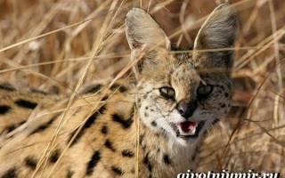 Сервал описание животного