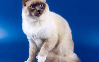 Невская маскарадная кошка описание породы и характера