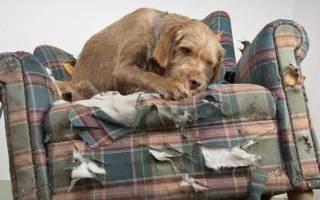 Как отучить лабрадора грызть все подряд – грызут ли мопсы мебель и обувь?