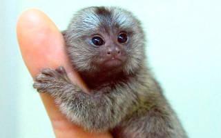 Сколько живут обезьяны в домашних условиях, шимпанзе продолжительность жизни
