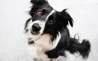 Какая порода собак считается самой умной?