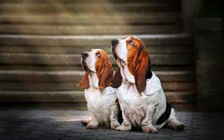 Бассет хаунд щенок фото, собака басетхаунт