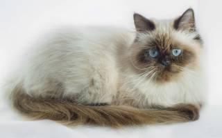 Гималайская кошка описание породы и характера