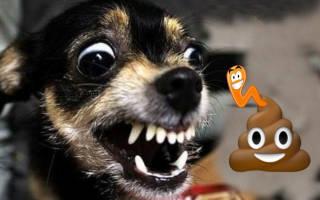 Глисты у собак лечение в домашних условиях