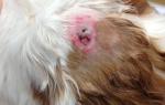 У кота шишка на шее под кожей, опухоль у кошки на спине