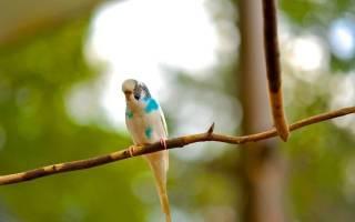 Перхоть у попугая волнистого