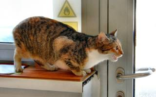 Стерилизация во время течки у кошек