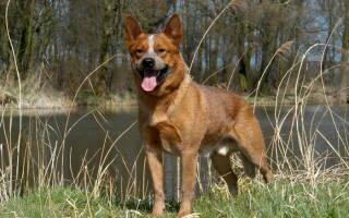 Собака австралийский хилер фото, кеттл дог