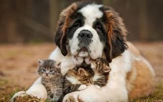 Сколько лет живут московские сторожевые собаки?