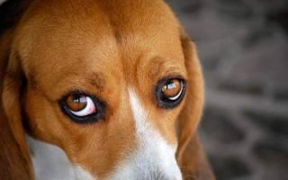 Почему у щенка красные белки глаз?