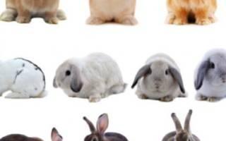 Какие породы кроликов лучше скрещивать между собой?